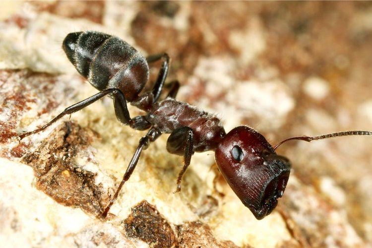 Para peneliti menemukan semut Colobpsis pekerja kecil itu akan pecah tubuh mereka, ketika sarangnya terancam predator.