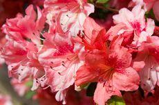 Cara Menanam dan Merawat Bunga Azalea, Cocok Jadi Tanaman Pagar