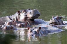 24 Kuda Nil Pablo Escobar Disterilkan karena Beranak Tak Terkendali