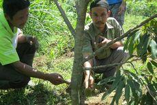 Menunggu Panen Durian Monthong
