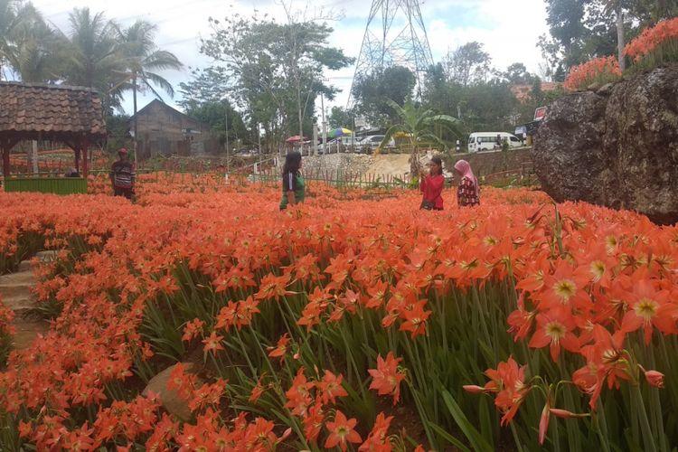 Kebun Bunga Amarilis dilihat dari Pinggir Jalan Yogyakarta-Wonosari