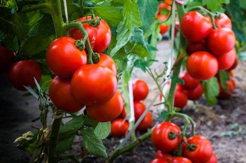 3 Cara Rawat Tanaman Tomat, Rutin Pangkas Tangkai