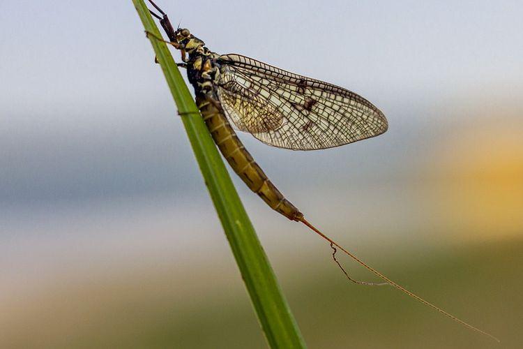 Ilustrasi lalat capung