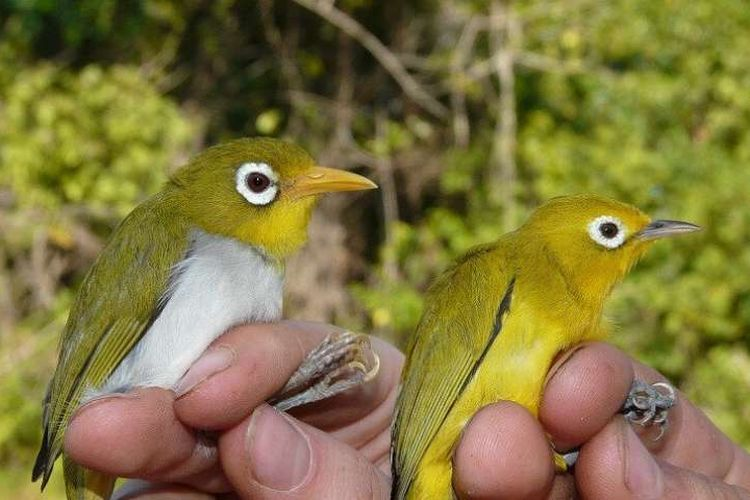 Ciri Ciri Burung Pleci Jantan dan Betina
