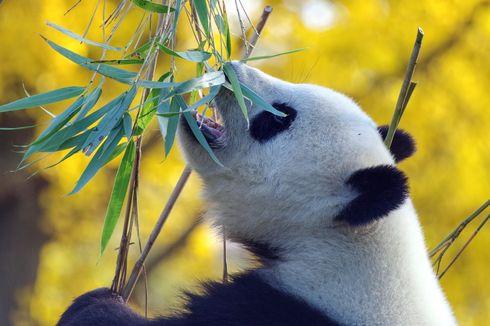 Kekurangan Bambu, Dua Panda di Kanada Tak Bisa Pulang ke China Akibat Covid-19