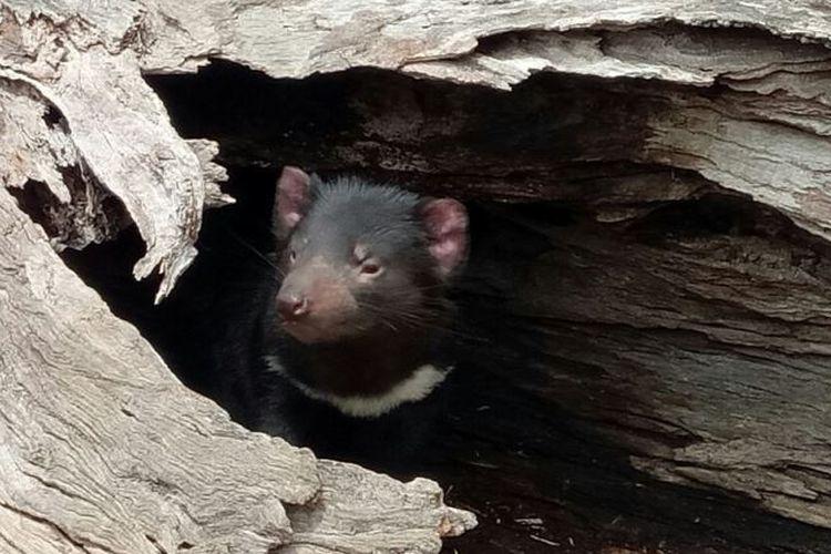 Tasmanian devil atau setan tasmania, hewan khas Tasmania yang terancam punah.