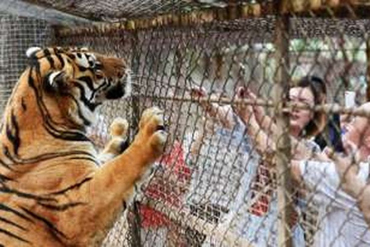 Seekor harimau siberia di sebuah kebun binatang di Hailin, China.