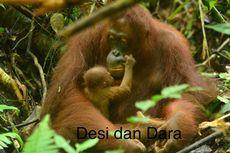 Kabar Gembira, Ada 4 Bayi Orangutan Lahir di Taman Nasional Bukit Baka Bukit Raya