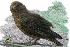 Setinggi Bocah, Ini Burung Betet Terbesar yang Pernah Hidup di Dunia