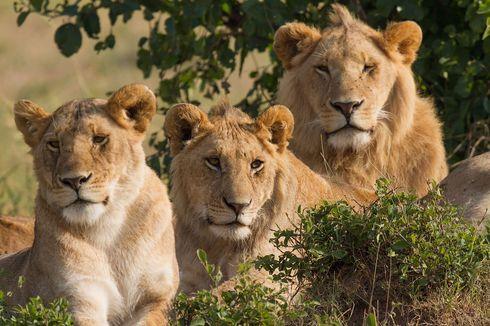 6 Singa Mati di Taman Nasional Ratu Elizabeth, Diduga Diracuni Orang