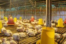 Harga Ayam Ditingkat Peternak Mulai Naik, Masyarakat Tak Perlu Panik