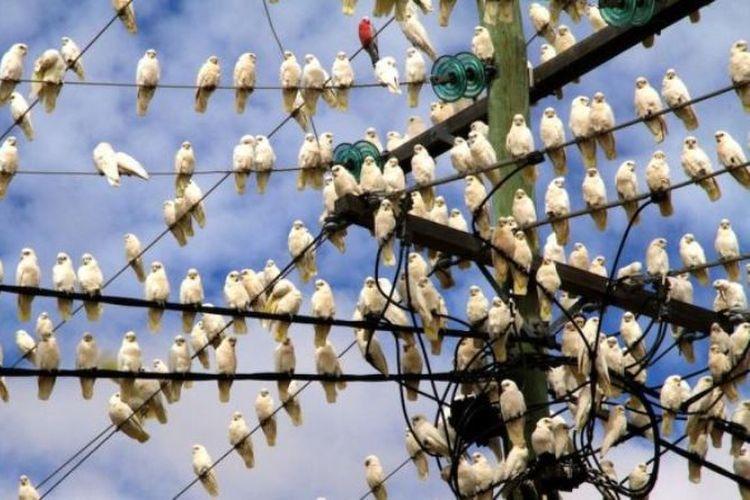 Serbuan burung korela, salah satu jenis kakatua, telah menimbulkan banyak kerusakan di Australia. (ABC Open/ Gemma Deavin)