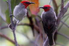 Seri Hewan Indonesia: Myzomela Prawiradilagae, Burung Endemik Pulau Alor