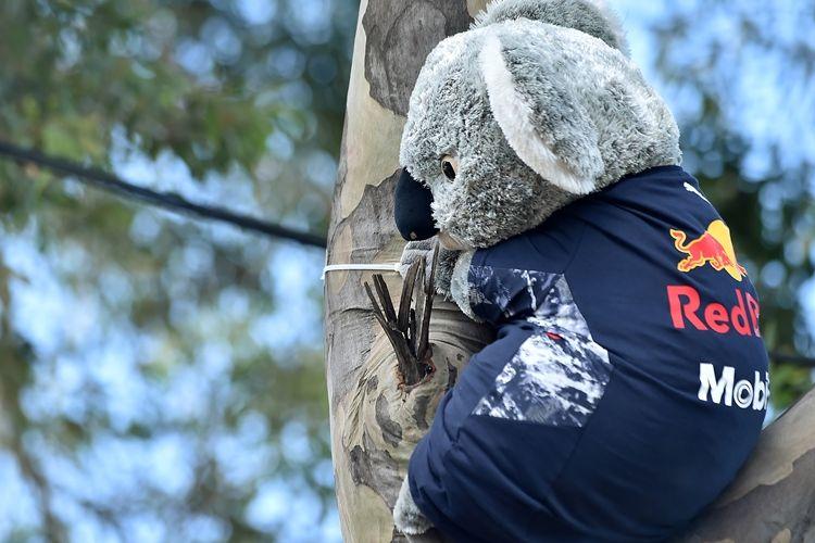 Boneka koala yang dipasangi kaus pebalap Red Bull asal Australia, Daniel Ricciardo, dipajang di atas pohon sebelum GP Australia digelar di Srkuit Melbourne Grand Prix, Albert Park, Austarlia, Kamis (23/3/2017).