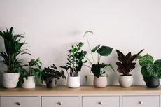 Cara Mengharumkan Ruangan di Rumah dengan Tanaman Herbal