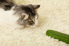 Mengapa Kucing Sering Terkejut dan Takut pada Mentimun? Ini Kata Ahli