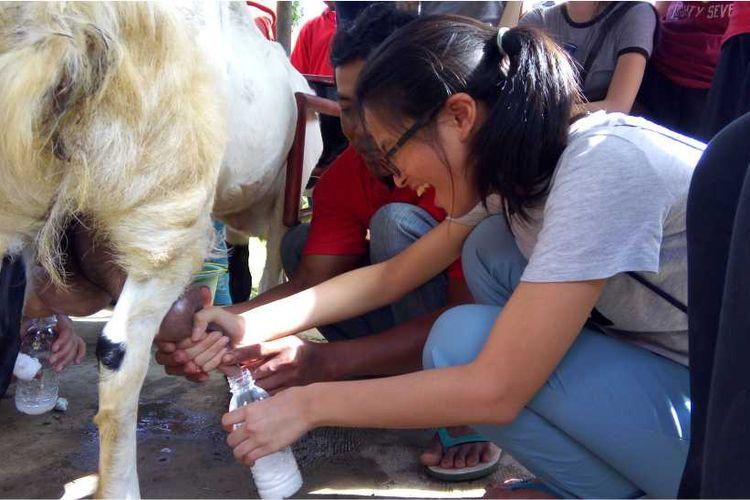Seorang pengunjung tengah mencoba memerah susu kambing Etawa di Peternakan Kambing Peranakan Etawa, Nglanggeran, Gunungkidul, Daerah Istimewa Yogyakarta.