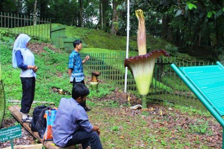 Para peneliti dari Lembaga Ilmu Pengetahuan Indonesia (LIPI) khusus Bunga Bangkai Kebun Raya Cibodas yang dipimpin Destri Zulfahmi, sedang melakukan pengamatan pertumbuhan pasca mengawinkan tumbuhan bernama latin Amorphophallus Titanum tersebut.