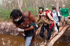 Orangutan Korban Karhutla: Hindari Api, Pilih Dekati Pemukiman Warga untuk Cari Makan