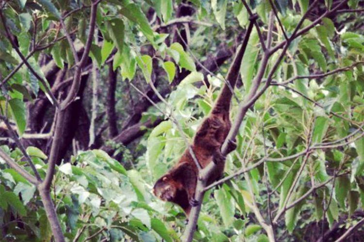 Seekor kuskus beruang (Aulirops ursinus) saat ditemukan di kebun warga di Kota Gorontalo. Pada betinanya terdapat kantung sebagaimana satwa marsupial. Keunikan lain adalah ekornya yang dapat berpegangan pada dahan.