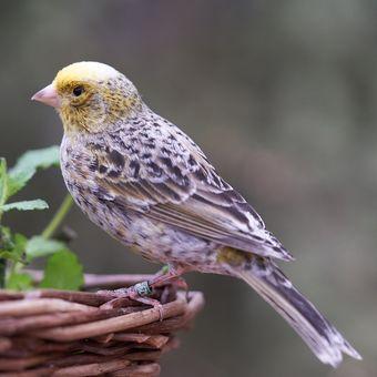 Ilustrasi burung kenari.