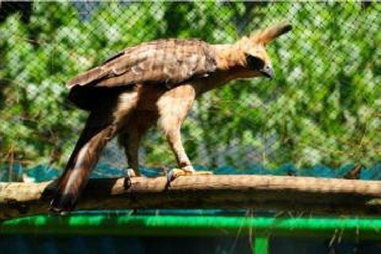 87 Koleksi Gambar Burung Elang Yang Sangat Indah HD Terbaik