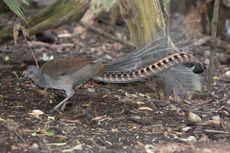 Fakta Burung Lyrebird, Hewan yang Bisa Tirukan Suara Tangisan Bayi
