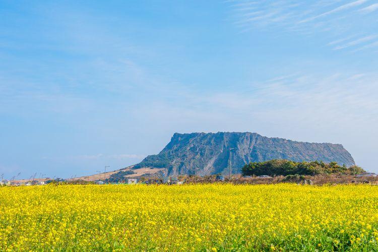 Hamparan bunga canola di Pulau Jeju.