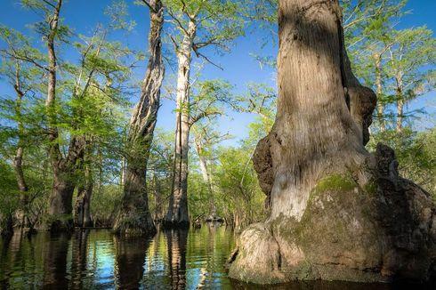 Pohon Tua Berusia 2.624 Tahun Ditemukan di Rawa Carolina Utara