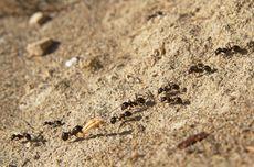 Mengenal Semut dan Rahasianya