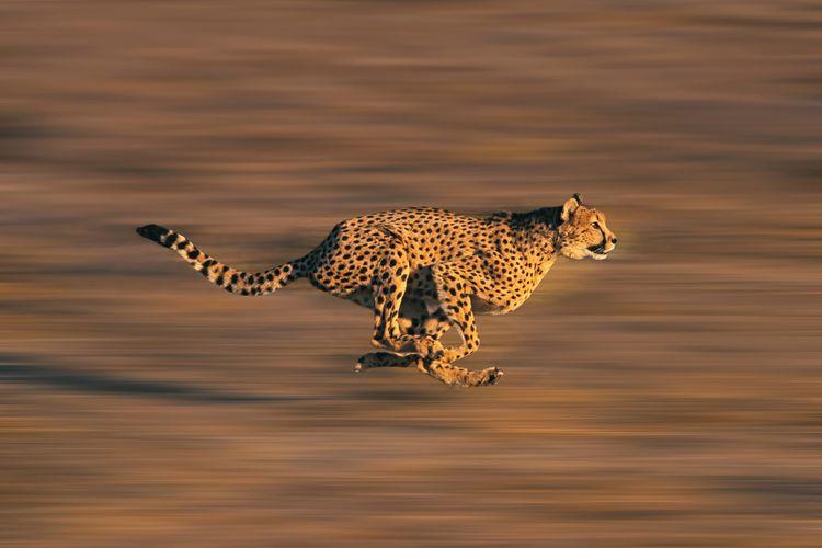 Ilustrasi cheetah, dikenal sebagai hewan tercepat di dunia