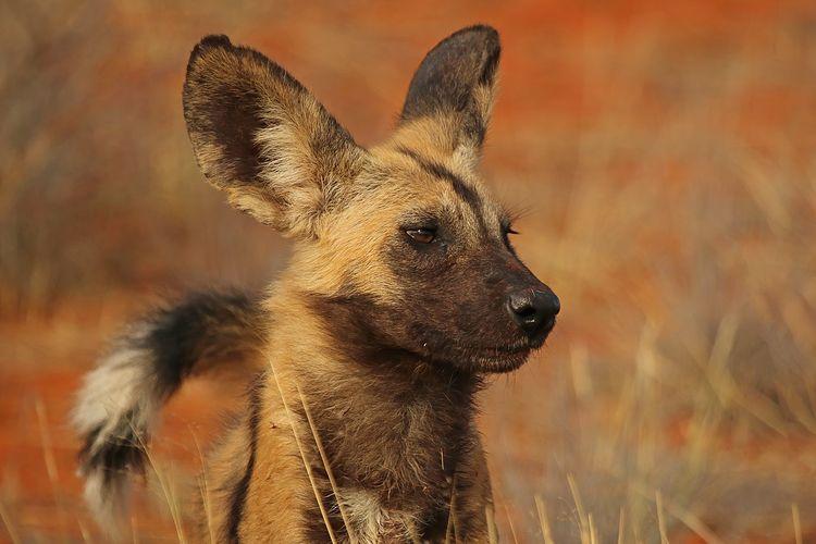 Anjing liar Afrika (Lycaon pictus pictus) adalah spesies anjing predator yang memiliki keunikan anatomi tubuh yang membantunya bertahan hidup. Kekuatan stamina menjadikannya sebagai predator yang berbeda dari saingannya sperti singa dan hyena.