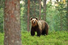 Beruang Cokelat Rusak Pemakaman dan Santap 20 Jenazah