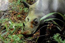 Diburu Serampangan, Badak Sumatera di Kalimantan Pernah Dinyatakan Punah