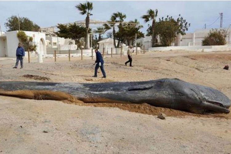 Paus Sperma terdampar dan mati di pantai Spanyol karena sampah platik pada Februari 2018.