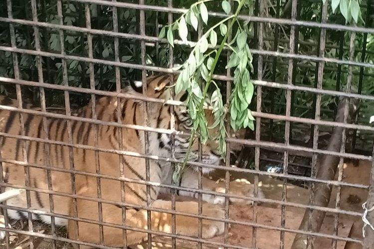 Harimau Sumatera yang tertangkap di Kecamatan Semendo Kabupaten Muara Enim Sumatera Selatan, setelah masuk dalam boks trap yang dipasang oleh pihak BKSDA, Selasa (21/1/2020).
