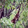 Mengenal Kuskus Beruang, Hewan Endemik Sulawesi yang Semakin Langka