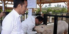 Jokowi Ingin Belgian Blue Jadi Andalan Peternak