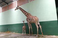 Mengenal Corona, Seekor Bayi Jerapah yang Lahir di Taman Safari Prigen Pasuruan