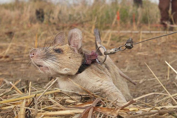 Seekor tikus pendeteksi ranjau, Magawa, diumumkan akan pensiun setelah menemukan 71 ranjau darat dan 28 amunisi yang tidak meledak di Kamboja.