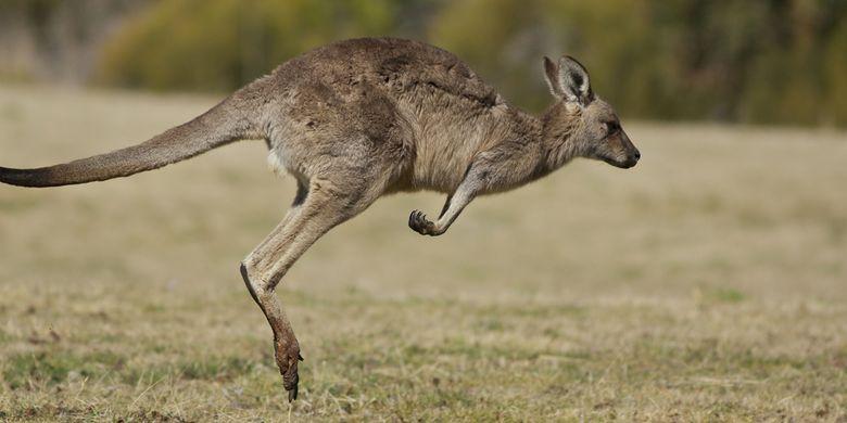 Ilustrasi kanguru melompat
