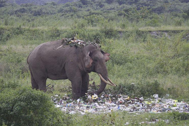 Seekor gajah yang memakan sampah di daerah West Bengal, India, dan diabadikan oleh jurnalis foto Pranab Das.