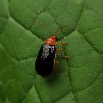 Ilustrasi hama kumbang mentimun atau Aulacophora similis Oliver.