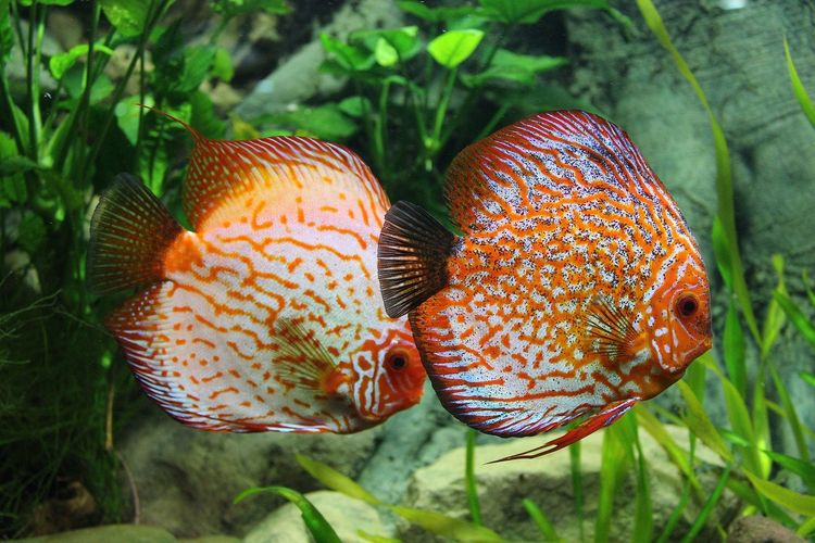 Dua ekor ikan berenang di akuarium aquascape.