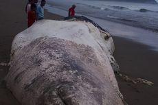 Bangkai Paus Sepanjang 15 Meter Terdampar di Sumba Timur, Gigi dan Sirip Hilang