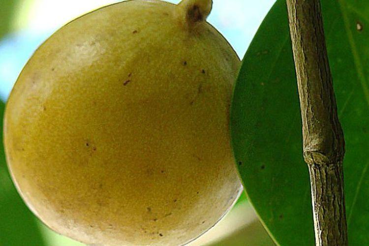 Death Apple atau kerap disebut pula Poison Guava.