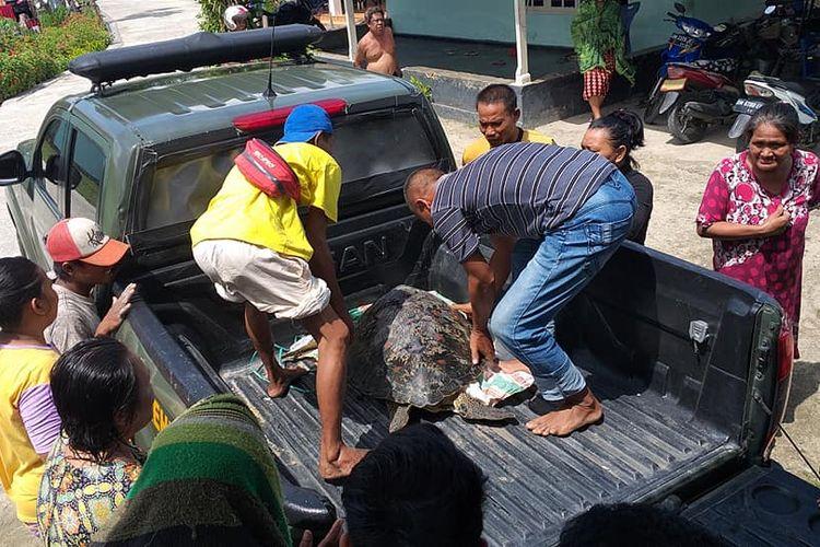 Evakuasi penyu hijau (Chelonia mydas) oleh petugas Balai Konservasi Sumber Daya Alam (BKSDA) Wilayah II Gorontalo.