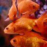 5 Salah Kaprah tentang Ikan Mas, Umur hingga Akuarium