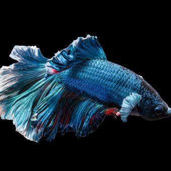 Ilustrasi ikan cupang.