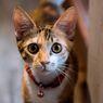 Apakah Aman Memasang Kalung di Leher Kucing?